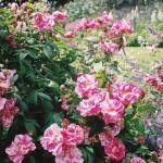 Rosamundi Roses