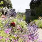 Roses, geraniums and catmint