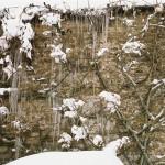Iced Wisteria