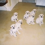 Puppies April 2007 (Gigha far right)