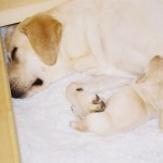 Gigha's Puppies, March 2011: Safe with Mummy